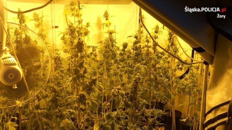 Ponad 27 tys. porcji narkotyków nie trafi na czarny rynek. Zlikwidowano ogromną plantację konopi [wideo]